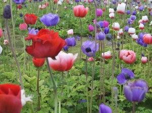 poppy-flower-field